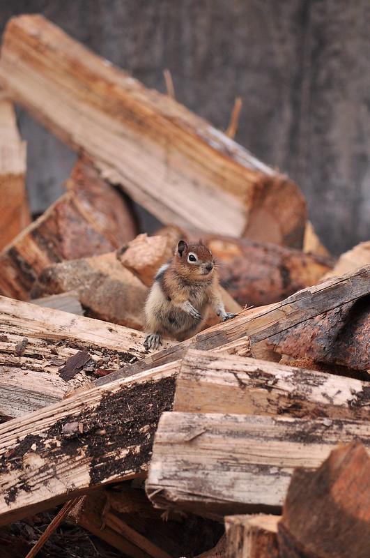Kooteney Squirrel 2