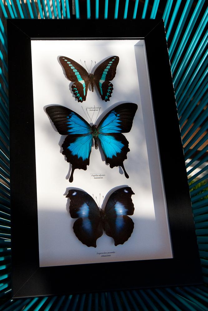 Graphium milon - Papilio ulysses - Napeocles jucunda