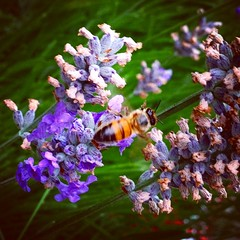 blossom(0.0), nectar(0.0), english lavender(0.0), pollinator(1.0), animal(1.0), honey bee(1.0), flower(1.0), plant(1.0), nature(1.0), lavender(1.0), lilac(1.0), invertebrate(1.0), lavender(1.0), macro photography(1.0), membrane-winged insect(1.0), herb(1.0), wildflower(1.0), flora(1.0), fauna(1.0), bee(1.0), bumblebee(1.0),