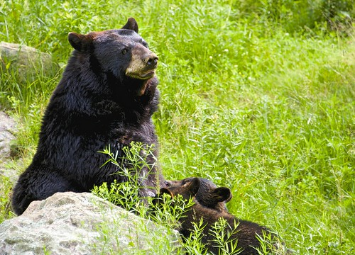Momma bear nursing her cubs