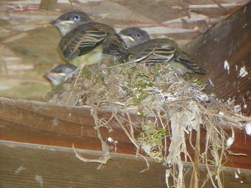 nestlings2