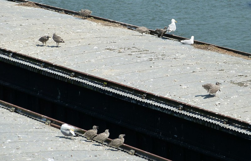 P1070948 - Herring Gulls, Conwy