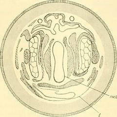 """Image from page 304 of """"Zeitschrift für wissenschaftliche Zoologie"""" (1912)"""