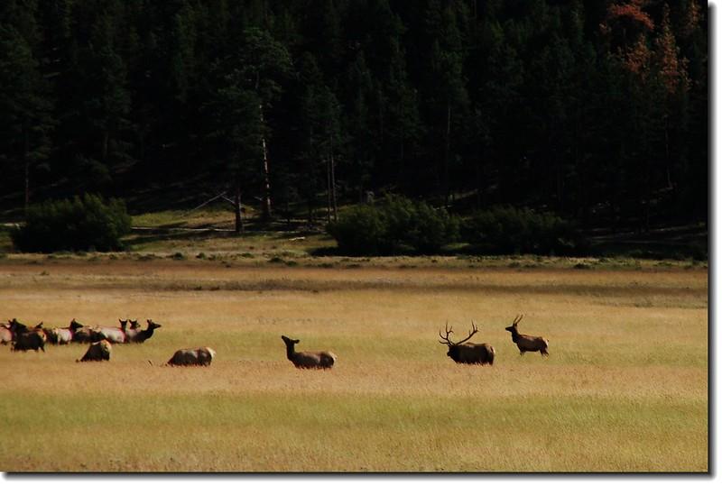 Elks in Moraine Park 4