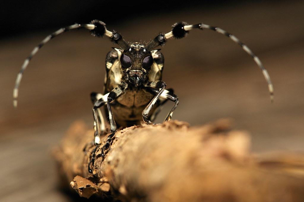 Longhorn Beetle (Aristobia voeti, Lamiinae, Cerambycidae)