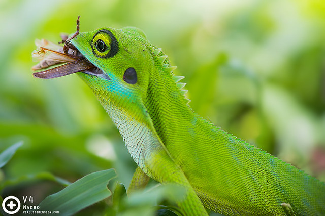Bronchocela cristatella feasting- Green Crested Lizard