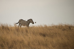 prairie, zebra, plain, mammal, fauna, savanna, grassland, safari, wildlife,