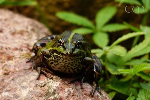 Woah! Big frog!