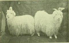 """Image from page 58 of """"The angora and mohair industry in the Northwest; also a full report and proceedings of the Northwest Angora Goat Association held in Portland, Oregon, January 4-7, 1911"""" (1911)"""
