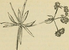"""Image from page 395 of """"Flora of Syria, Palestine, and Sinai : from the Taurus to Ras Muhammas and from the Mediterranean sea to the Syrian desert"""" (1896)"""
