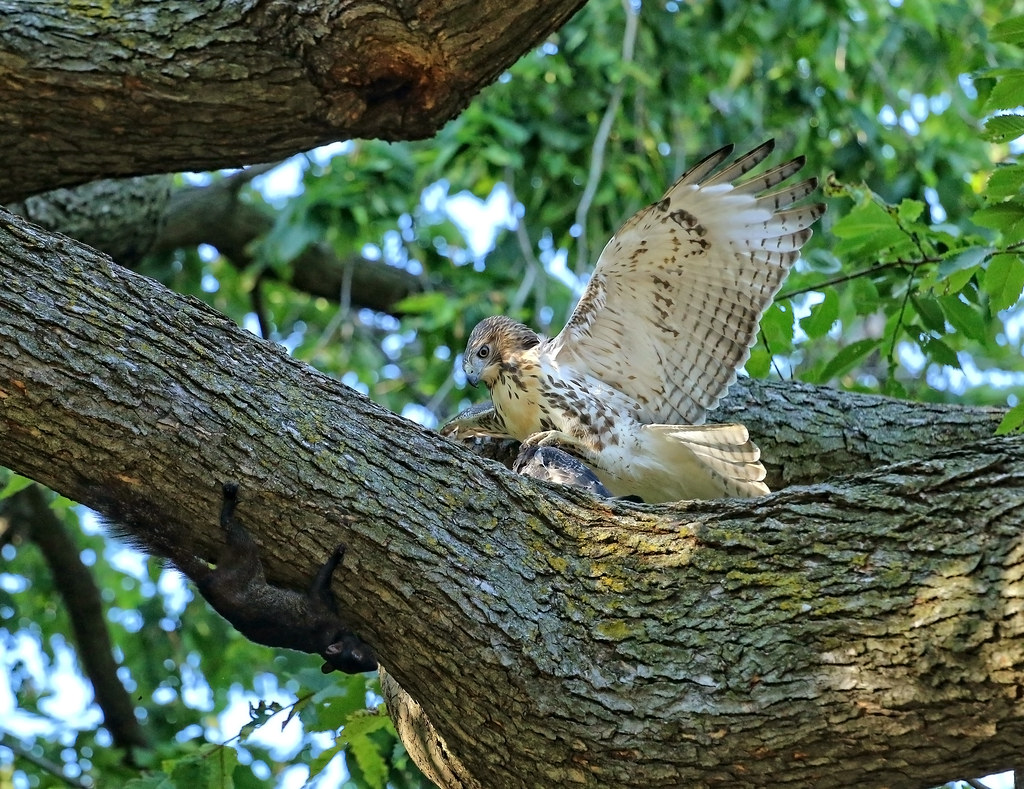 Juvenile red tail with pigeon and squirrel