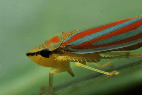 Red banded leafhopper Graphocephala coccinea