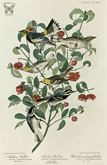Strawberry Bush, Euonymus americanus with Warblers. (Audubon, Hermit, and Black-Throated Gray). Birds of America [double elephant folio edition], Audubon, J.J.,  (1826-1838) [J.J. Audubon]