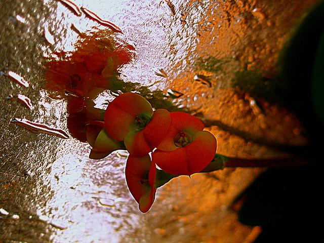 Espina de Cristo. / Euphorbia milii splendens.