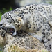 Mating snow leopards II...