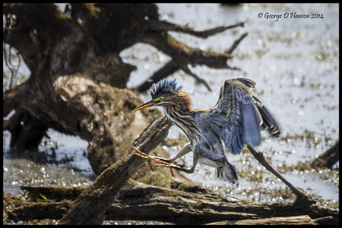 bird nature jump wildlife washingtonstate juvenile greenheron butoridesvirescens ridgefieldnwr sigma150500mm pentaxk5