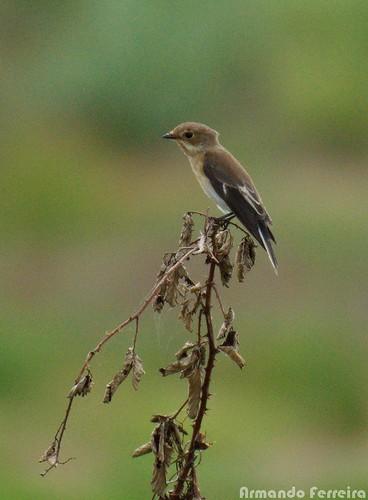 aves ficedulahypoleuca papamoscaspreto