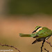uttampegu posted a photo:	Blue Cheeked bee-eater has arrived in Udaipur