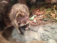 animal, raccoon, zoo, mustelidae, mammal, fauna, polecat, viverridae, procyon, wildlife,