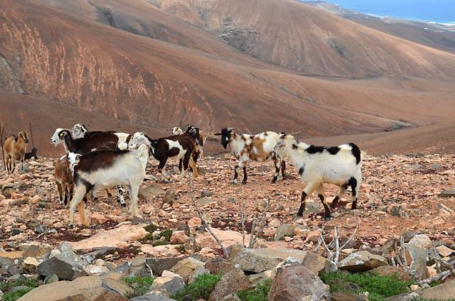 Goats on Fuerteventura