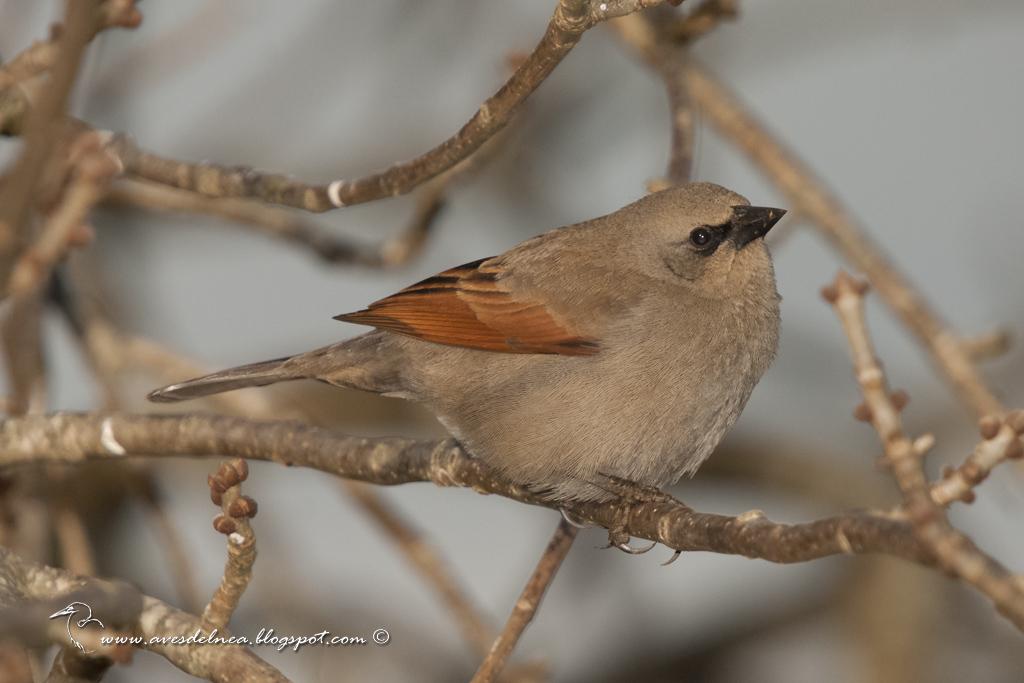 Tordo músico (Bay-winged Cowbird) Agelaioides badius