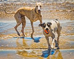 hound(0.0), greyhound racing(0.0), saluki(0.0), street dog(0.0), dog sports(1.0), animal sports(1.0), animal(1.0), dog(1.0), whippet(1.0), galgo espaã±ol(1.0), sloughi(1.0), pet(1.0), mammal(1.0), lurcher(1.0), greyhound(1.0),