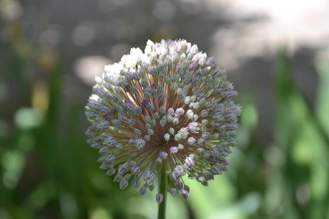 Allium polyanthum - ail à fleurs nombreuses 32260603054_7e6540b288_z