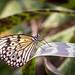 Wisley Butterfly-7