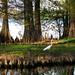 Reelfoot Lake #4