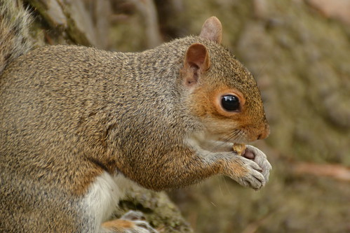 456 - Edinburgh - botanic gardens - Squirrel