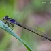 Blue-tailed Damselfly - Photo (c) Marcello Consolo, some rights reserved (CC BY-NC-SA)