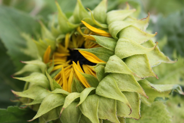 20130727_6117-sunflower