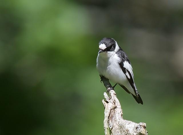 Halsbandsflugsnappare / Collared Flycatcher