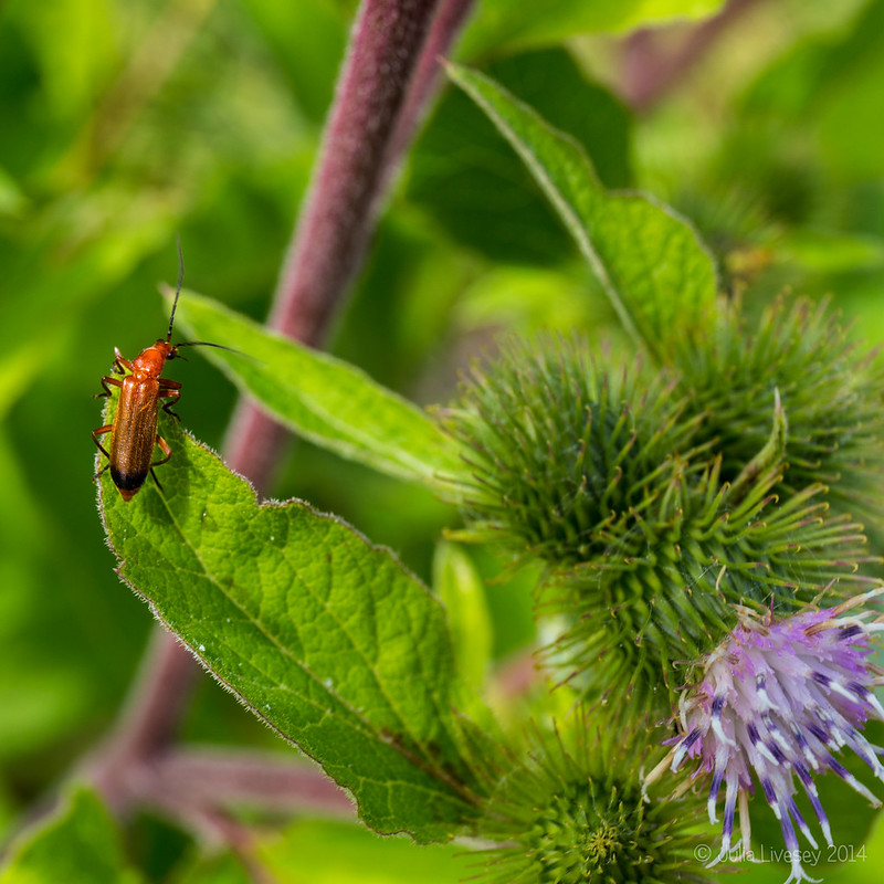 Longhorn Beetle on Greater Burdock