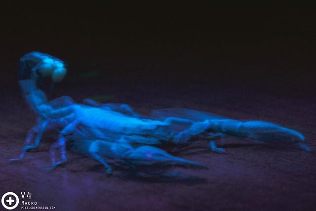 Giant Forest Scorpion (Heterometrus spinifer) under UV Light