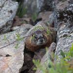 Phil the Marmot