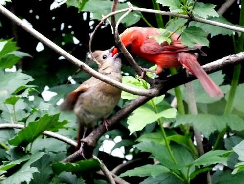 a male cardinal feeding a young cardinal