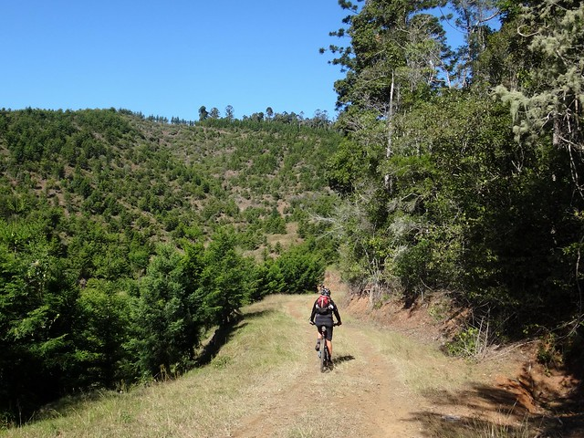 Hoop Pine Plantation