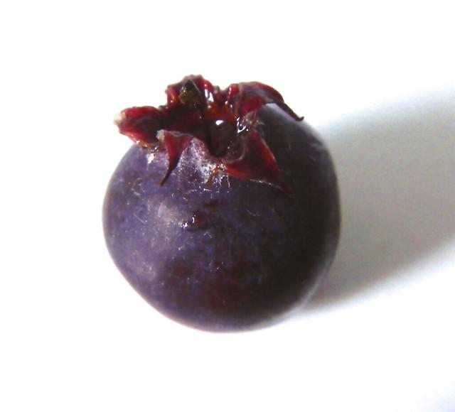 Service Berries 2