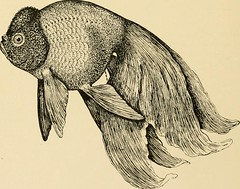 """Image from page 55 of """"Goldfish breeds and other aquarium fishes, their care and propagation : a guide to freshwater and marine aquaria, their fauna, flora and management. With 280 explanatory illustrations, printed with the text"""" (1908)"""