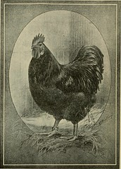 "Image from page 25 of ""Mrs. Basley's poultry book; tells you what to do and how to do it; the chicken business from first to last including 1001 questions and answers, relative to up-to-date poultry culture"" (1908)"