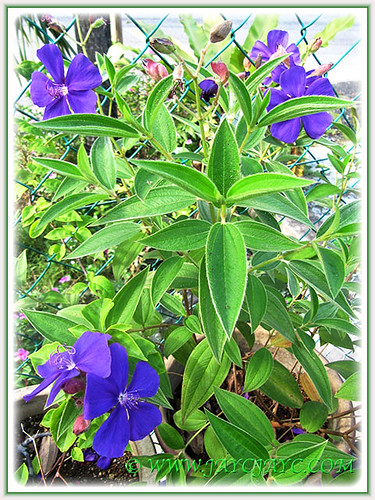 Potted Tibouchina urvilleana (syn.: T. semidecandra) with vibrant purple flowers, July 8 2014