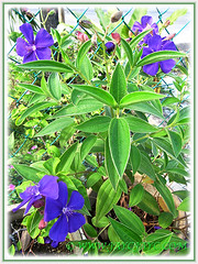 Our potted Tibouchina urvilleana (Princess Flower, Glory Bush), July 8 2014