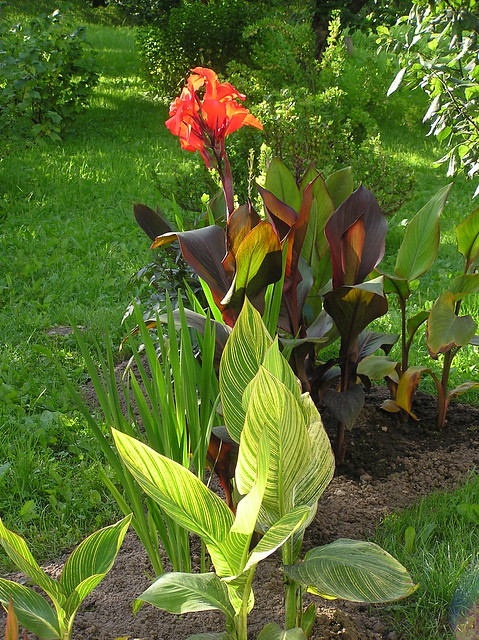 Canna Bed