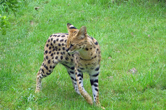 animal, cheetah, small to medium-sized cats, mammal, fauna, ocelot, savanna, wildlife,
