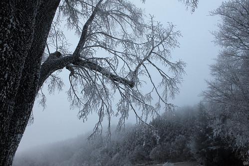 Dans la forêt de la Princesse de glace... (Violay France).