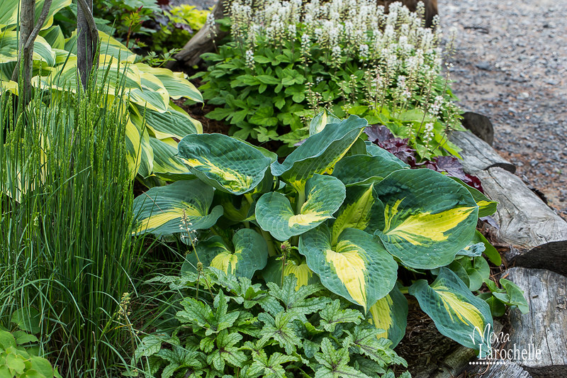 Hosta Dream Weaver 14661227558_924581f684_c