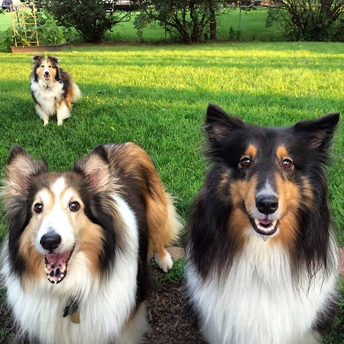Two Shelties are better than one, but three Shelties are better than none.