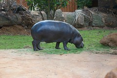 domestic pig(0.0), wildlife(0.0), animal(1.0), hippopotamus(1.0), fauna(1.0),