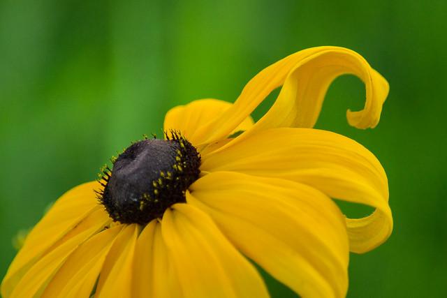 Flower, Yellow, Green, Petals, Curl, Petal